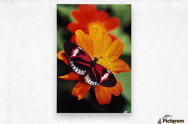Butterfly On Flower  Metal print
