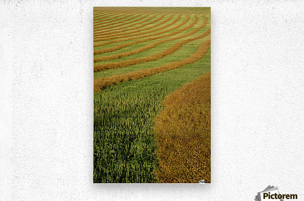 Rows Of Canola Windrows  Metal print