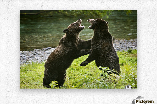 Two Grizzly Bears Fighting  Metal print