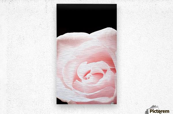 Pink Rose, Close-Up  Metal print