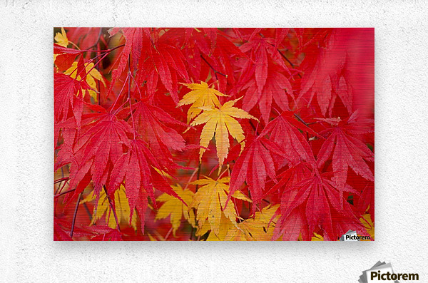 Close-Up Fall Leaves  Metal print