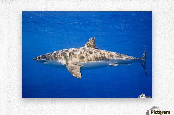 Great White Shark (Carcharodon Carcharias)  Metal print