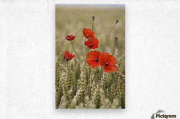 Wildflowers; Poppies In A Grain Field  Metal print