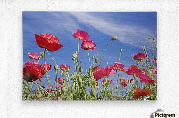 Red Flowers Against Blue Sky  Metal print