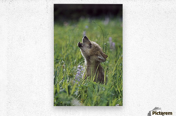 Wolf Puppy Howling In Mountain Meadow  Metal print