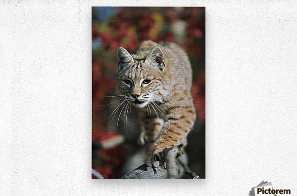 Bobcat (Felis Rufus) Walks Along Branch Through Red Leaves Of A Hawthorn In Autumn; Idaho, Usa  Metal print