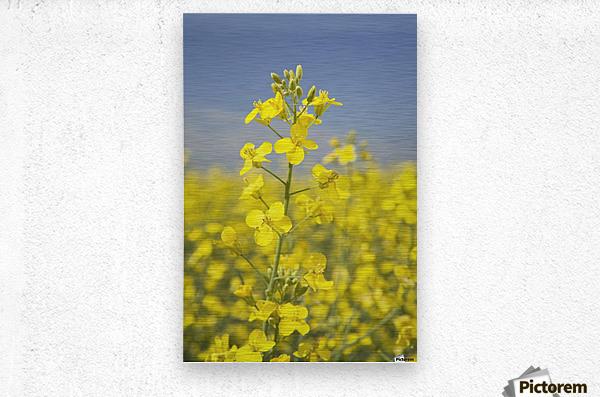 Flowering Canola, Alberta, Canada  Metal print