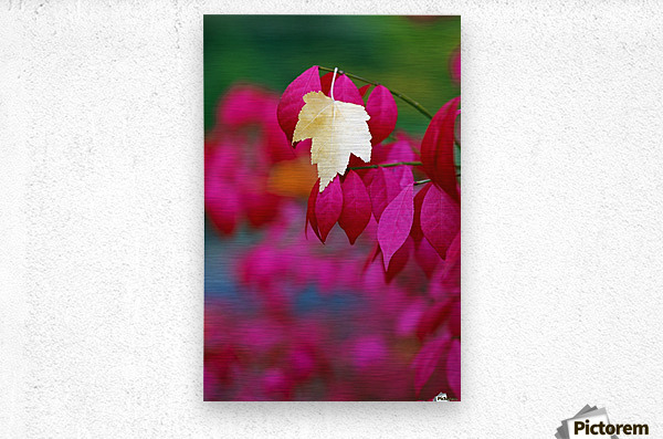 Oregon, United States Of America; A Yellow Leaf Fallen On Pink Leaves  Metal print