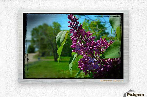 Purple Flowers  Impression metal