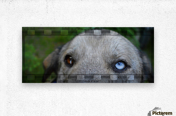 Blue Eyed Dog  Metal print