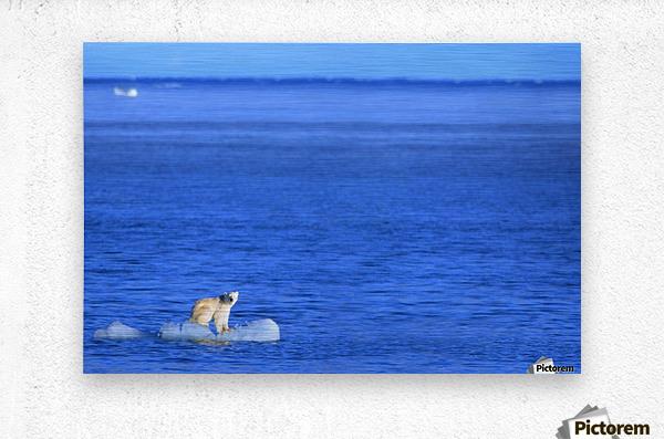 Polar Bear (Ursus Maritimus) Standing On A Piece Of Floating Ice; Coburg Island, Nunavut, Canada  Metal print