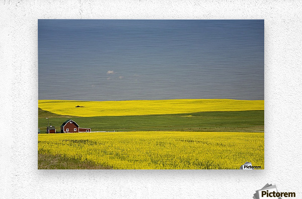 Flowering Canola Fields And A Red Barn; Alberta, Canada  Metal print