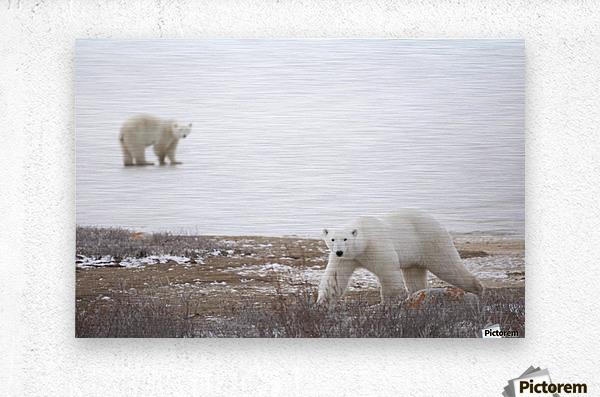 Polar Bears (Ursus Maritimus) Staring Ahead As They Walk Across The Frozen Tundra; Churchill, Manitoba, Canada  Metal print