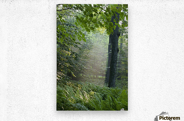 Trees In The Woods In The Early Morning Fog; Iron Hill, Quebec, Canada  Metal print