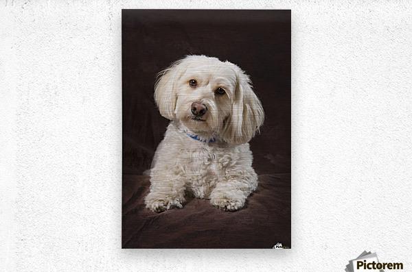 Shih Tzu-Poodle On A Brown Muslin Backdrop  Metal print