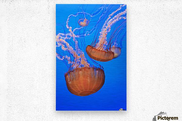 Sea Nettles (Chrysaora Fuscescens) In Monterey Bay Aquarium Display; Monterey, California, United States of America  Metal print
