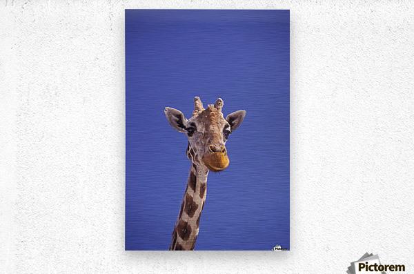 Masai Giraffe, Serengeti, Africa  Metal print