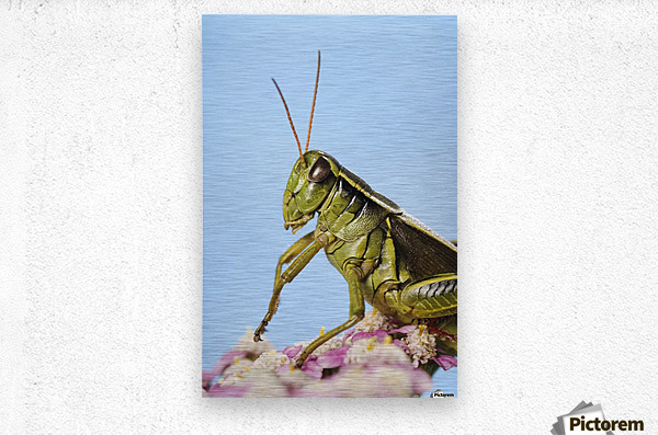 Grasshopper Close-Up.  Metal print