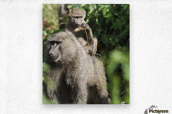 A monkey and it's baby sitting on her back in the maasai mara national reserve;Maasai mara kenya  Metal print