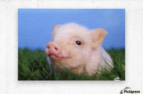 Baby pig lying on grass;British columbia canada  Metal print