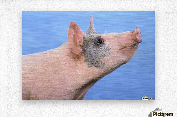Pig with a blue background;British columbia canada  Metal print