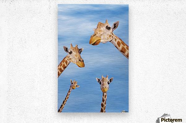 Four giraffes looking downward;Africa  Metal print