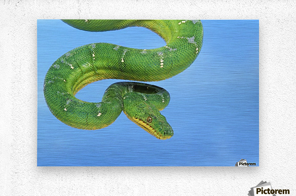 Emerald tree boa (corallus caninus) on a blue background;British columbia canada  Metal print