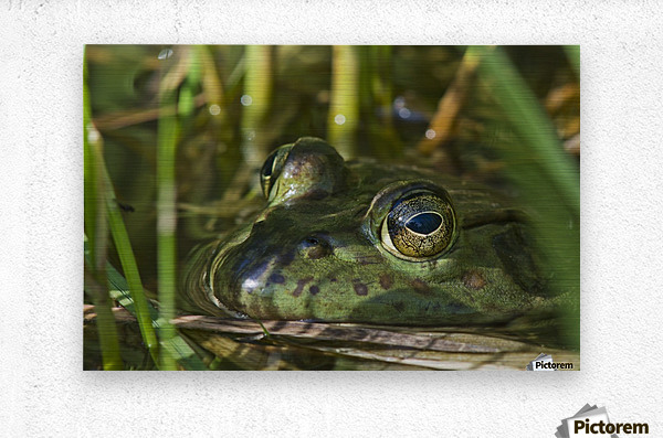 A bullfrog (Lithobates catesbeianus) rests in a pond; Astoria, Oregon, United States of America  Metal print