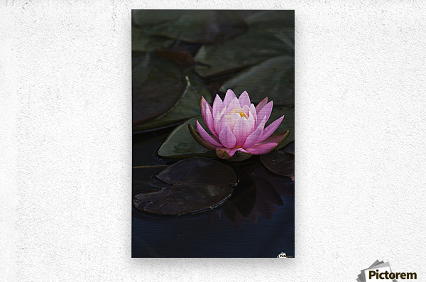 A water lily blooms in a pond; Astoria, Oregon, United States of America  Metal print