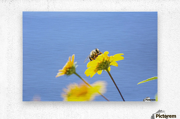 A bee is busy pollenating flowers as it goes about it's job collecting pollen; Bolivia  Metal print
