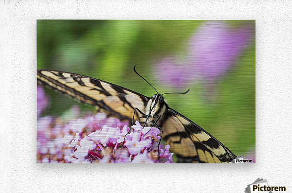 A swallowtail butterfly seeks nectar on a butterfly bush; Astoria, Oregon, United States of America  Metal print