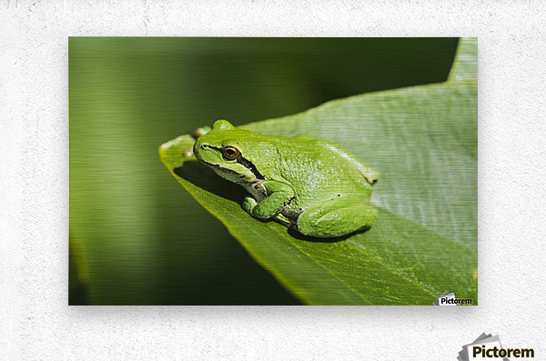 A Pacific Tree Frog (Pseudacris regilla) rests on a Wapato Leaf; Astoria, Oregon, United States of America  Metal print