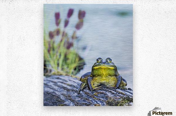 Bull frog (rana catesbeiana) resting on a log beside a lake; Ontario, Canada  Metal print