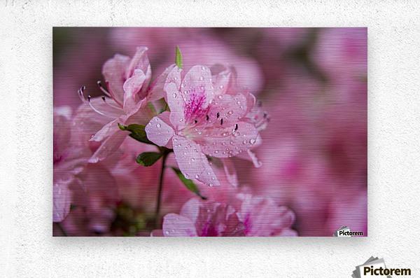 Pericat hybrid azaleas (Mrs. Fisher), Rhododendron (Ericaceae), New York Botanical Garden; New York City, New York, United States of America  Metal print