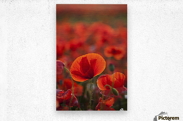 Common Poppy (Papaver rhoeas) covering an arable field; North Yorkshire, England  Metal print