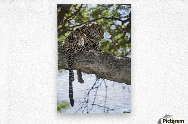 Leopard resting in tree near Ndutu, Ngorongoro Crater Conservation Area; Tanzania  Metal print