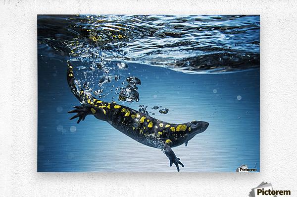 Salamander (Caudata) swimming in water; Tarifa, Cadiz, Andalusia, Spain  Metal print
