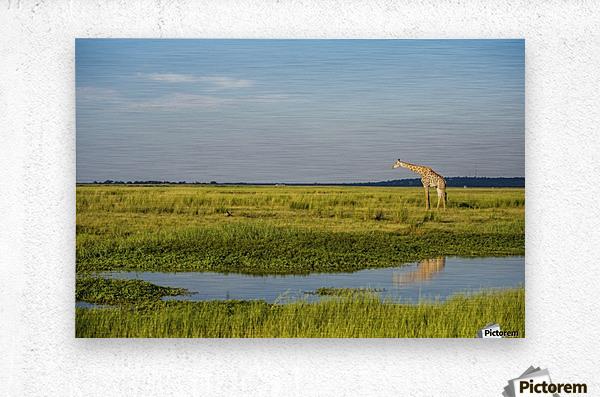 Giraffe (Giraffa camelopardalis), Chobe National Park; Kasane, Botswana  Metal print