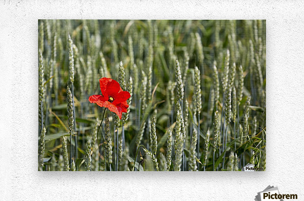 Close up of red poppy in a green wheat field; Brehec, Brittany, France  Metal print
