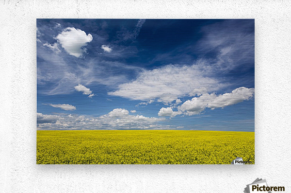 Flowering canola field with clouds and blue sky; Alberta, Canada  Metal print