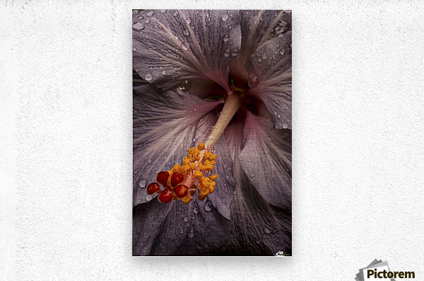 Close up of a Hibiscus flower with water droplets; Hawaii, United States of America  Impression metal