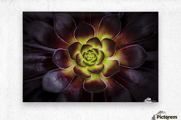 Purple and green Aeonium, Dublin Botanic Garden; Dublin, Leister, Ireland  Metal print