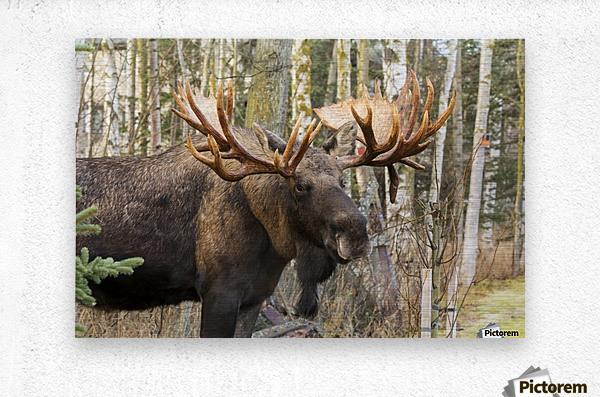Bull moose (alces alces), rutting season; Alaska, United States of America  Metal print