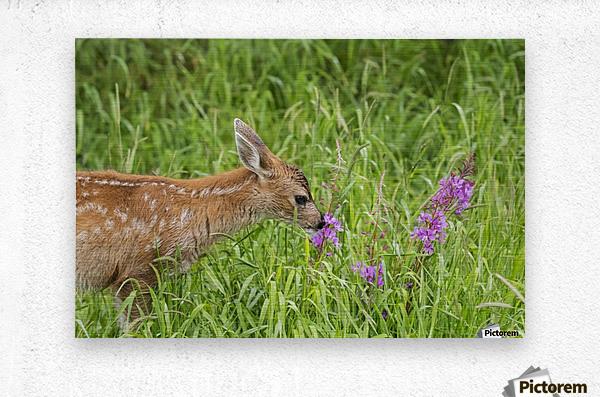 Sitka Black-tailed deer fawn (Odocoileus hemionus sitkensis) munches on fireweed (Chamerion angustifolium) in pasture, captive animal at the Alaska Wildlife Conservation Centre; Portage, Alaska, United States of America  Metal print