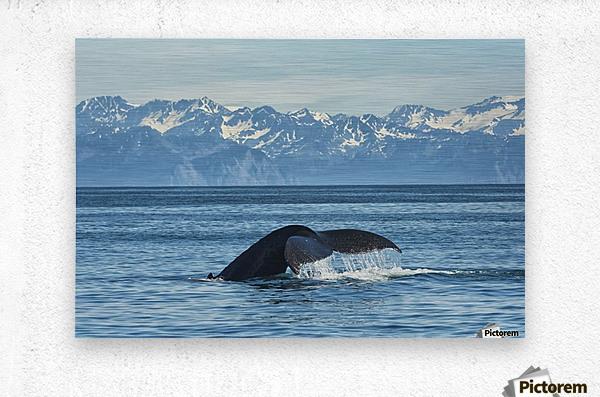 Humpback whale (Megaptera novaeangliae) in Seward harbour; Seward, Alaska, United States of America  Metal print