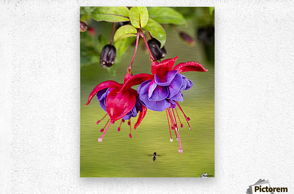 Close up of fuchsia and insect in garden; South-central Alaska; Eagle River, Alaska, United States of America  Metal print