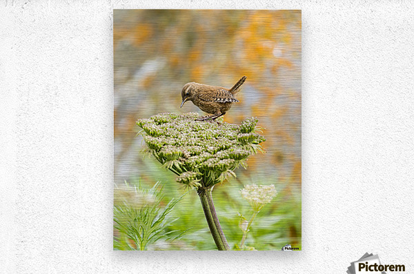 Pacific wren (Troglodytes pacificus) perched on wild celery on St. Paul Island in Southwest Alaska; St. Paul Island, Pribilof Islands, Alaska, United States of America  Metal print