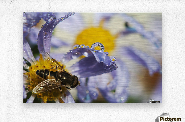 A Fly Rests On Aster Blossoms; Astoria, Oregon, United States Of America  Metal print