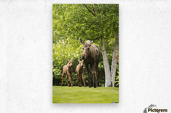 A cow moose (alces alces) with her calves on green grass with lush green foliage; Anchorage, Alaska, United States of America  Metal print