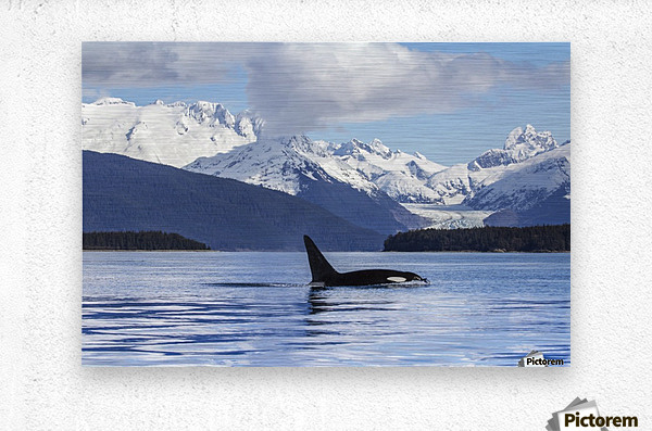 An Orca Whale (Killer Whale) (Orcinus orca) surfaces in Lynn Canal, Herbert Glacier, Inside Passage; Alaska, United States of America  Metal print